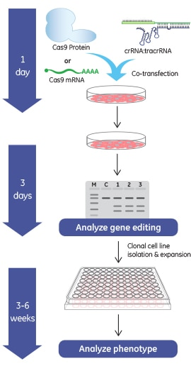 Gene knockout workflow using the Edit-R Cas9 Nuclease mRNA with synthetic crRNA and tracrRNA