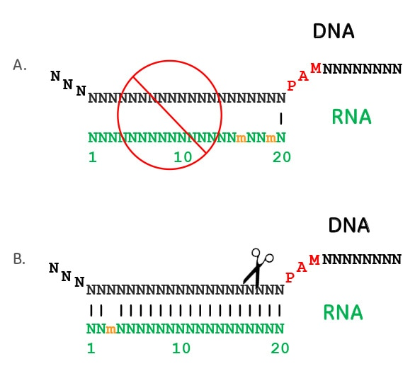 Variable tolerance for flaws along the guide RNA