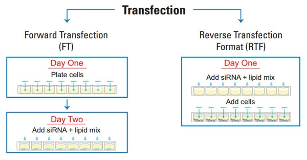reverse transfection workflow lg