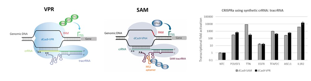 CRISPRa systems with synthetic guide RNA