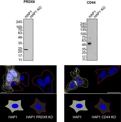 YCharOSデータ-HAP1CD44およびPRDX6KO細胞株のウエスタンブロットおよび免疫蛍光データ