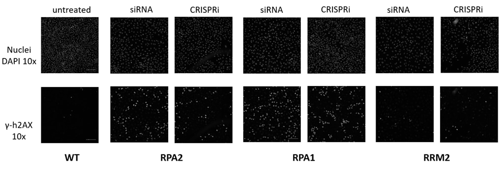 Synthetic CRISPRi reagents can be used to orthogonally validate hits from siRNA screens