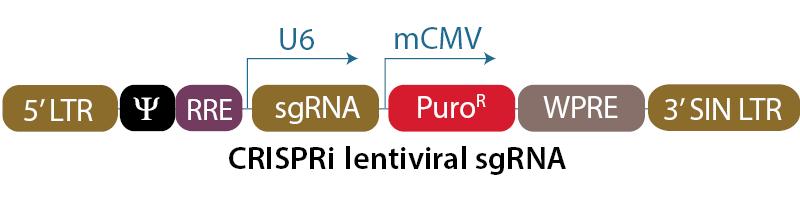 CRISPRi lentiviral sgRNA vector