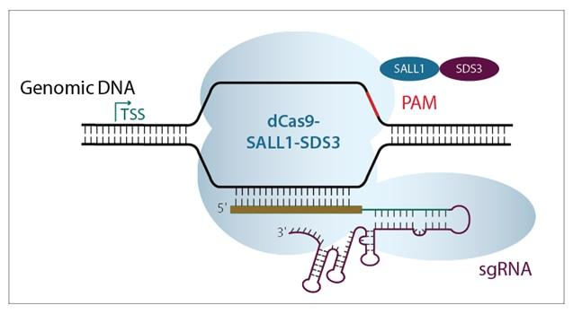 Diagram of CRISPRi-based transcriptional repression