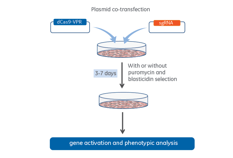 Edit-R CRISPRa co-transfection workflow