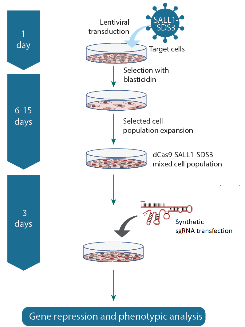 CRISPR interference workflow with lentiviral dCas9-SALL1-SDS3 and synthetic sgRNA
