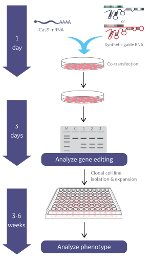 Edit-R Cas9 nuclease mRNA workflow