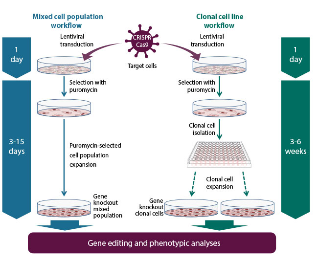 Edit-R predesigned all-in-one lentiviral sgRNA workflow