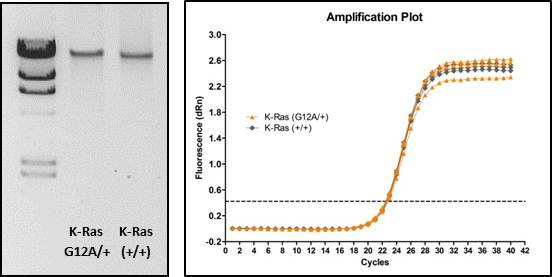 DNA was run on a 1% agarose gel and shows a single high-molecular weight band